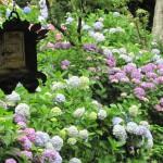 Hortensienblüte in Hasederatempel
